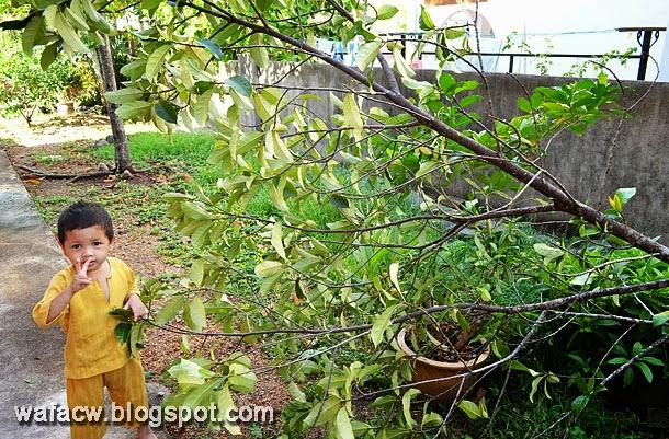 pokok cempedak tumbang