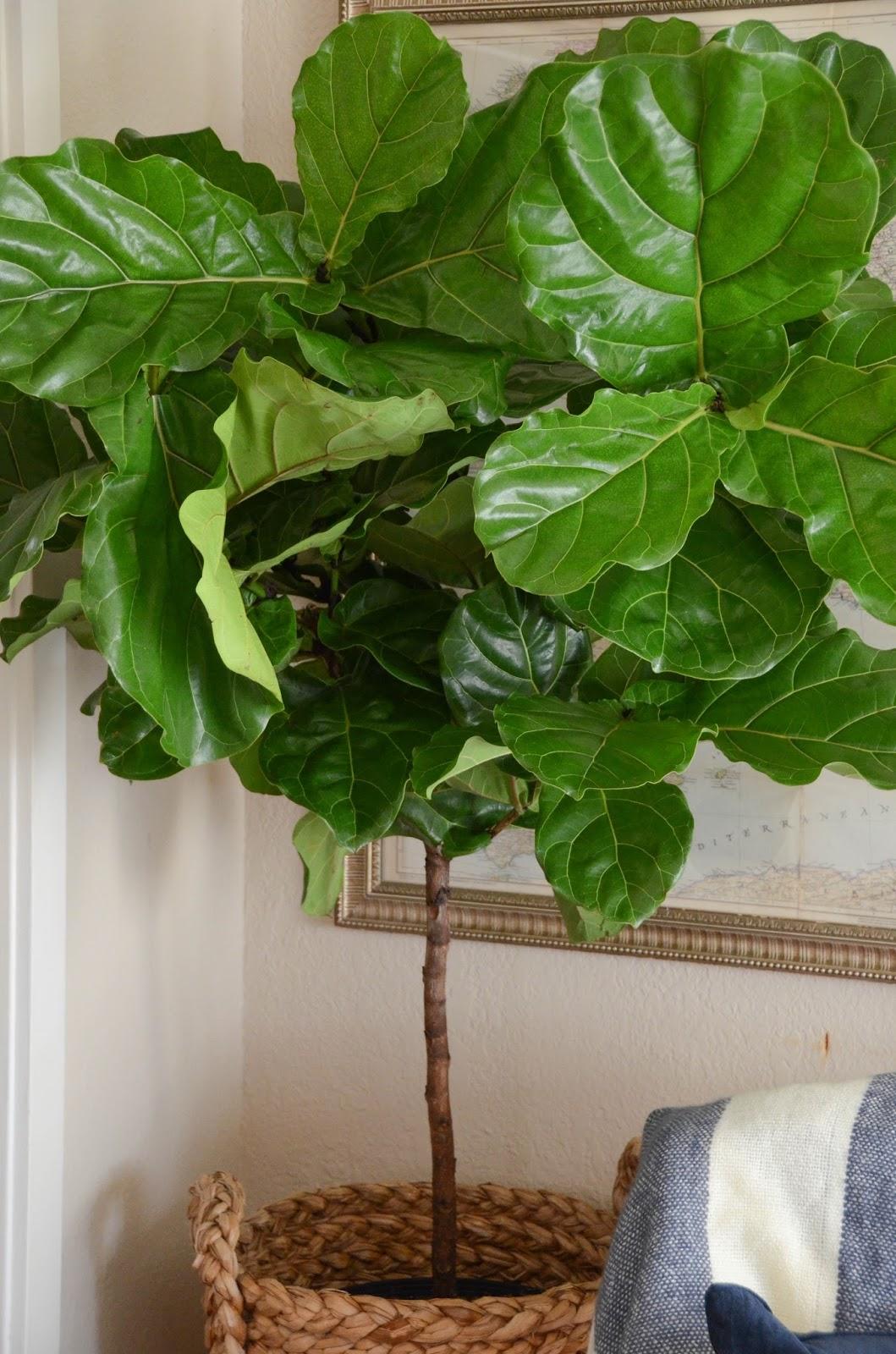 Iron Twine Fiddle Leaf Fig Tree