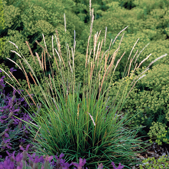 Modern garden design using ornamantal grasses sage for Tall ornamental grasses that grow in shade
