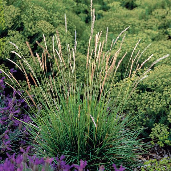 Modern garden design using ornamantal grasses sage for Tall ornamental grasses for shade