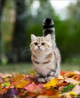 British Shorthair Cat Pictures