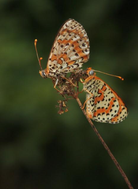güzel iperhan kelebeği