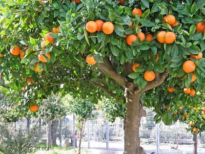 Las plantas - Naranjas del arbol a la mesa ...
