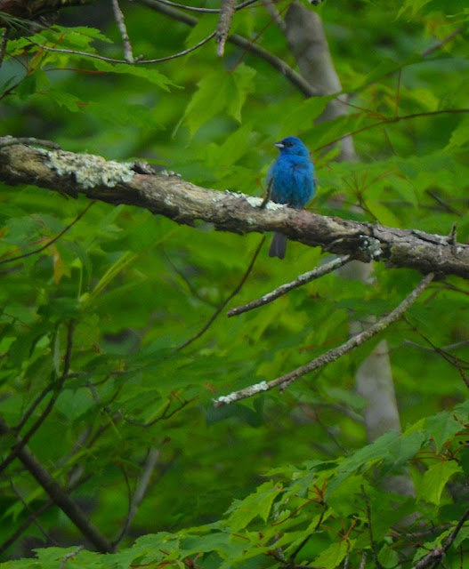 A bird of summer, the beautiful blue of the Indigo Bunting is breathtaking sitting amid green maple leaves.