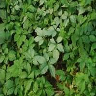 Giảo cổ lam 5 lá - Ngũ diệp sâm (Gynostemma pentaphyllum)