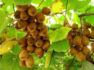الكيوي وفوائده Kiwi_Tree