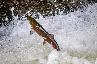 Sockeye salmon leaping up the fish gate at Zozel Dam
