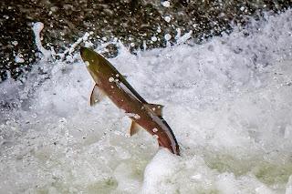 Sockeye salmon leaping up the fish gate at Zozel Dam