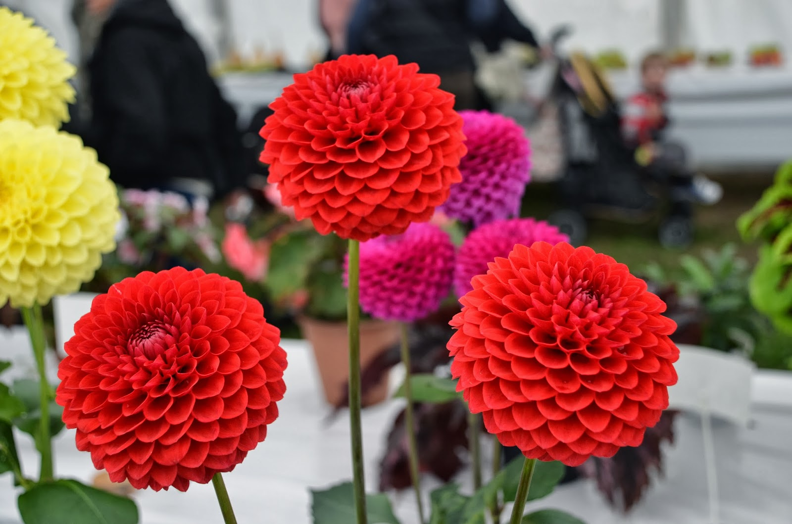 Seed to feed me how to plant dahlia tubers - Best compost for flower pots solutions within reach ...