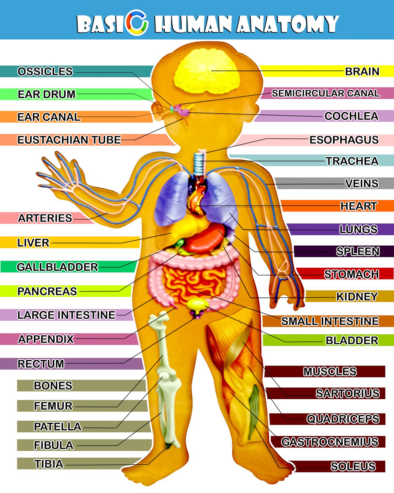 Basic Human Anatomy Chonzskypedia
