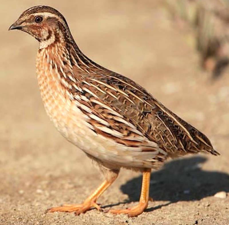 quail farming, commercial quail farming, quail farming business, commercial quail farming business, quail farming business in India, commercial quail farming in India, commercial quail farming business in India, quail rearing
