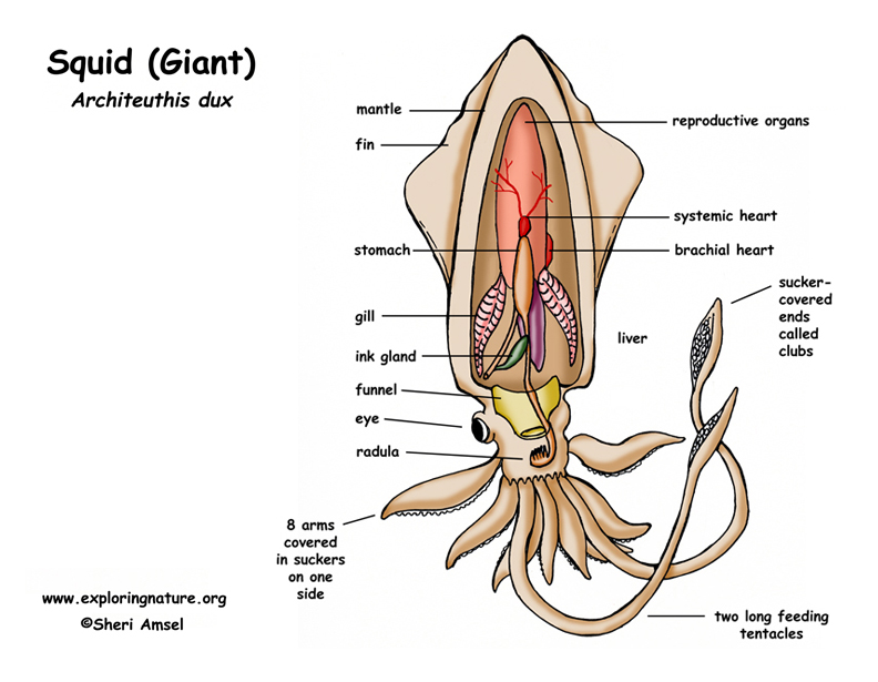 Printables Squid Dissection Worksheet squid diagram juanribon com my bio 11 blog dissectiondesign