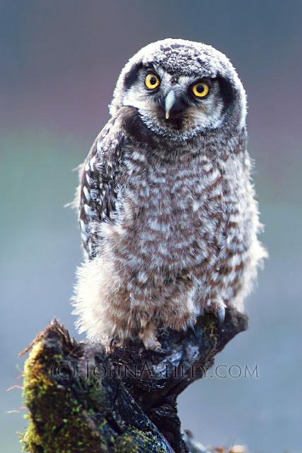 Juvenile Northern Hawk Owl (Surnia ulula) in Montana (c) John Ashley