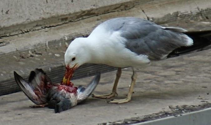 gulls scavenge window collision vistims