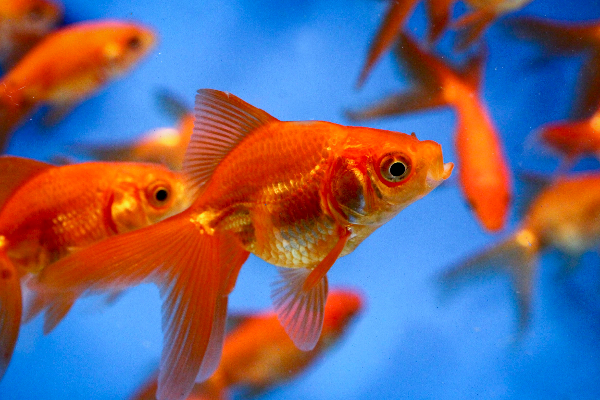 Allendale aquatic nursery koi 2015 for Wholesale koi fish for sale