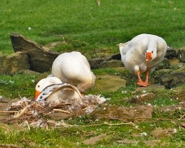 nesting geese