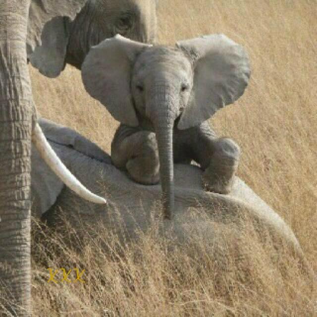 Baby Elephants Cute BIRDS & DAFFODILS:...