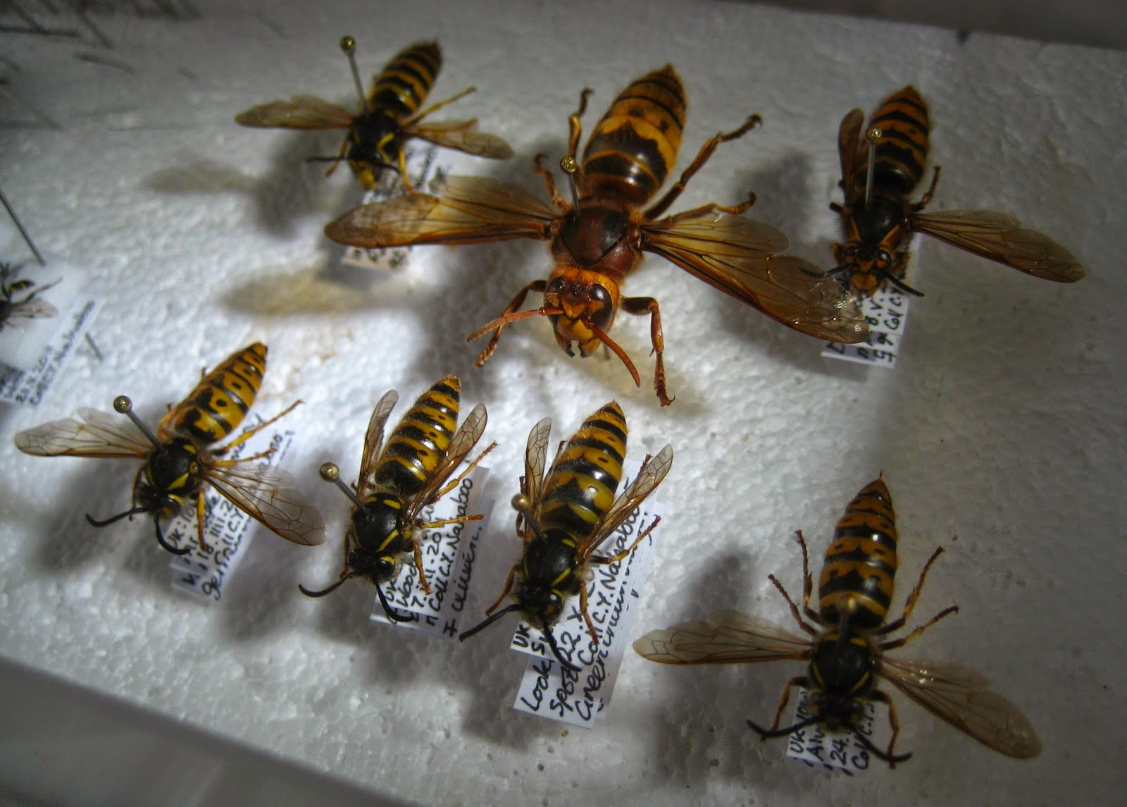 Male Vespa Crabro Comparison With Other British Social Wasp Males