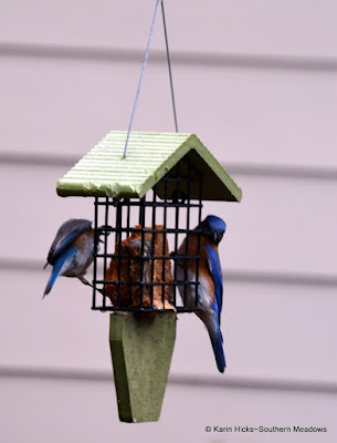Bluebirds at suet feeder