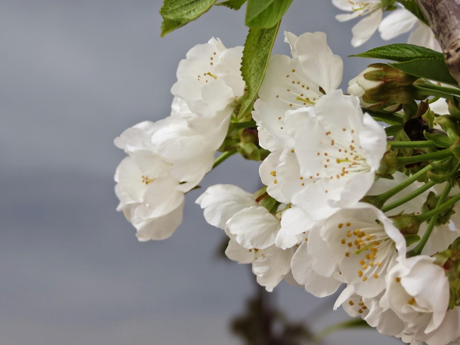 Flor de cereza, Beatriz 2015