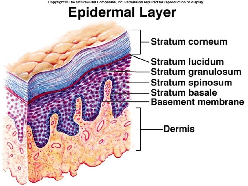 Gambar Kulit Epidermis