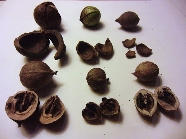 comparison of mockernut, bitternut, and pignut hickory - carya tomentosa, carya cordiformus, carya glabra