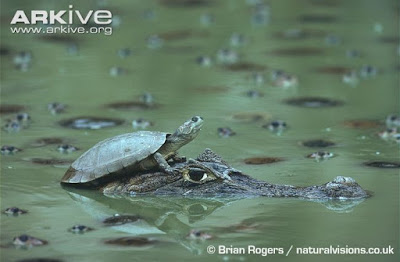 Turtle and Caiman