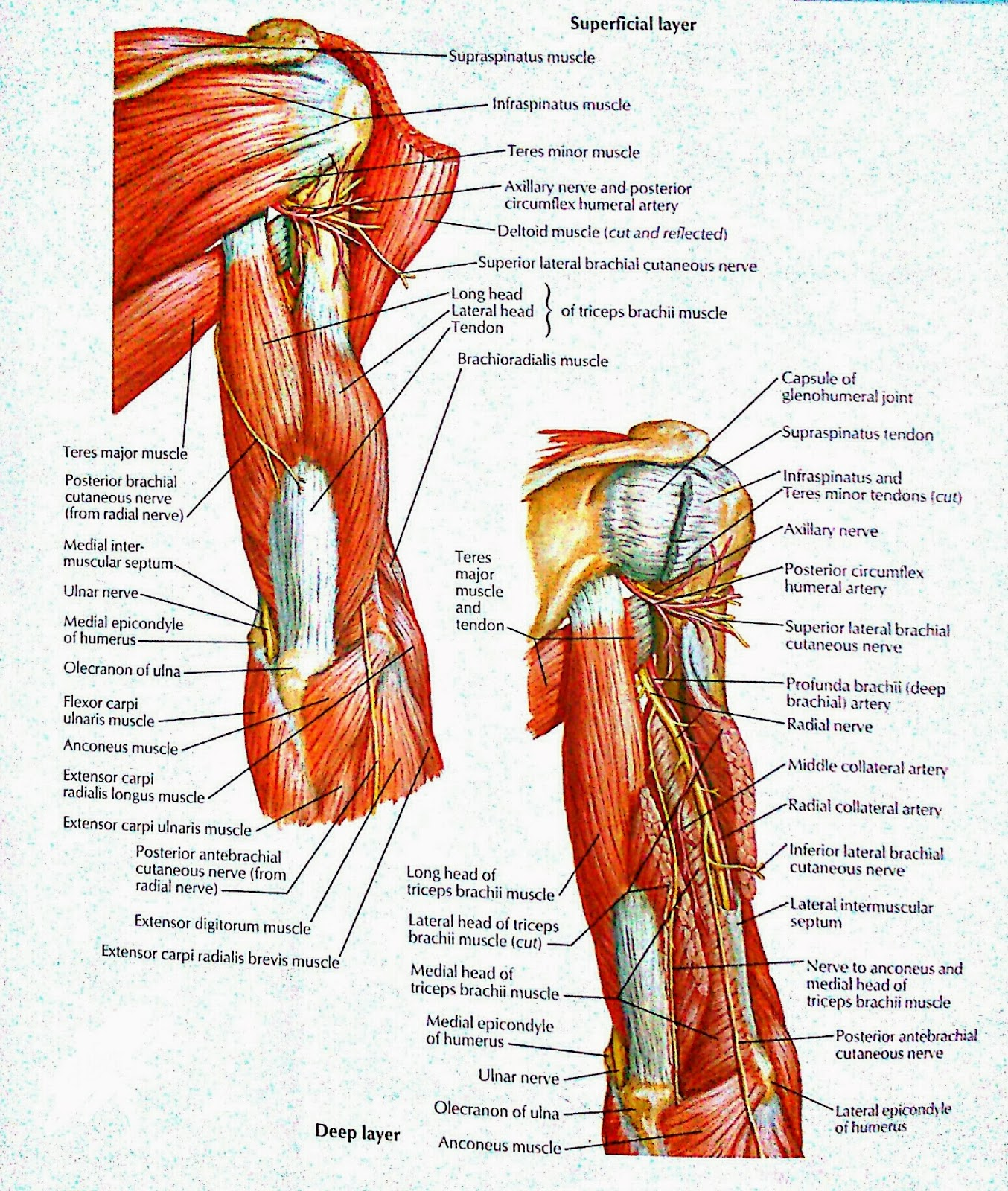 muscles of Arm:posterior view (superficial and deep layer) | VISUAL ...