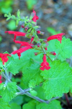 Cedar Sage, Salvia roemeriana