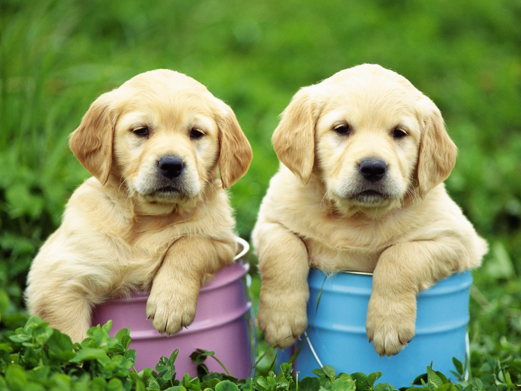 Cute Puppy Dogs: labrador retriever puppies