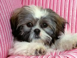 Shih Tzu Cute Puppy Show