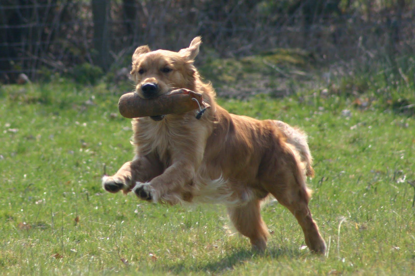 http://1.bp.blogspot.com/--bEqHesvdv8/Th8LetzdEtI/AAAAAAAAAEw/XS18q2V3dc8/s1600/Retrievers+Dogs+Wallpapers+4.jpg