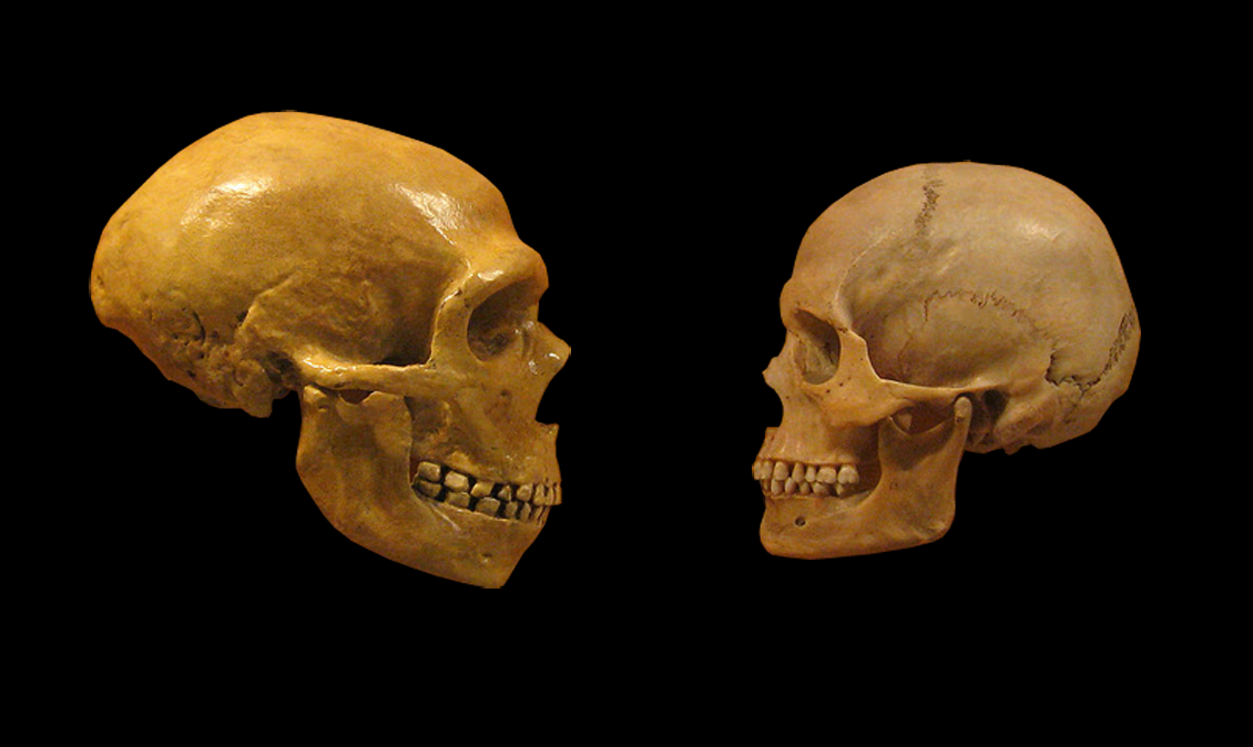 """More on DNA """"switch"""" sheds light on Neanderthals - The ... Homo Sapiens Neanderthalensis Skull"""