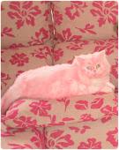 Mi gata Itinia teñida de rosa.