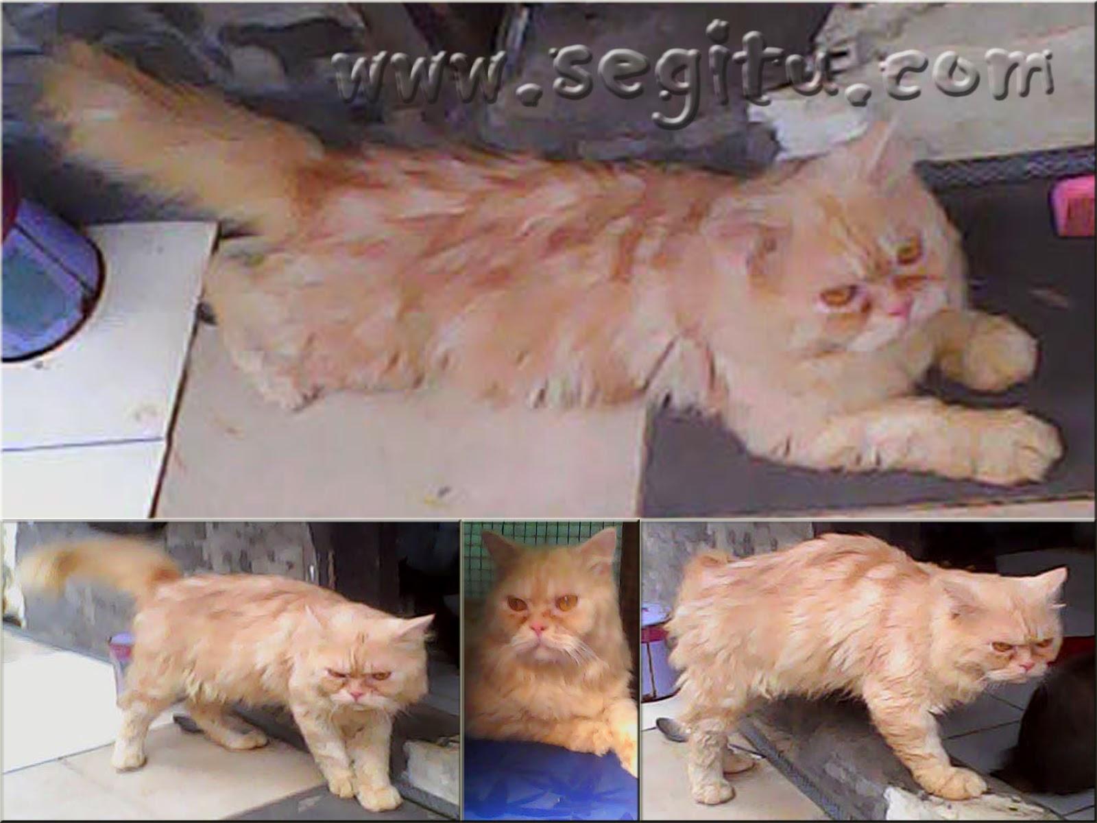Harga Kucing Persia Segitu Petshop