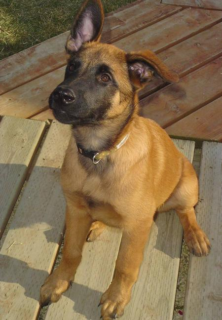 The dog in world: Belgian Malinois dogs