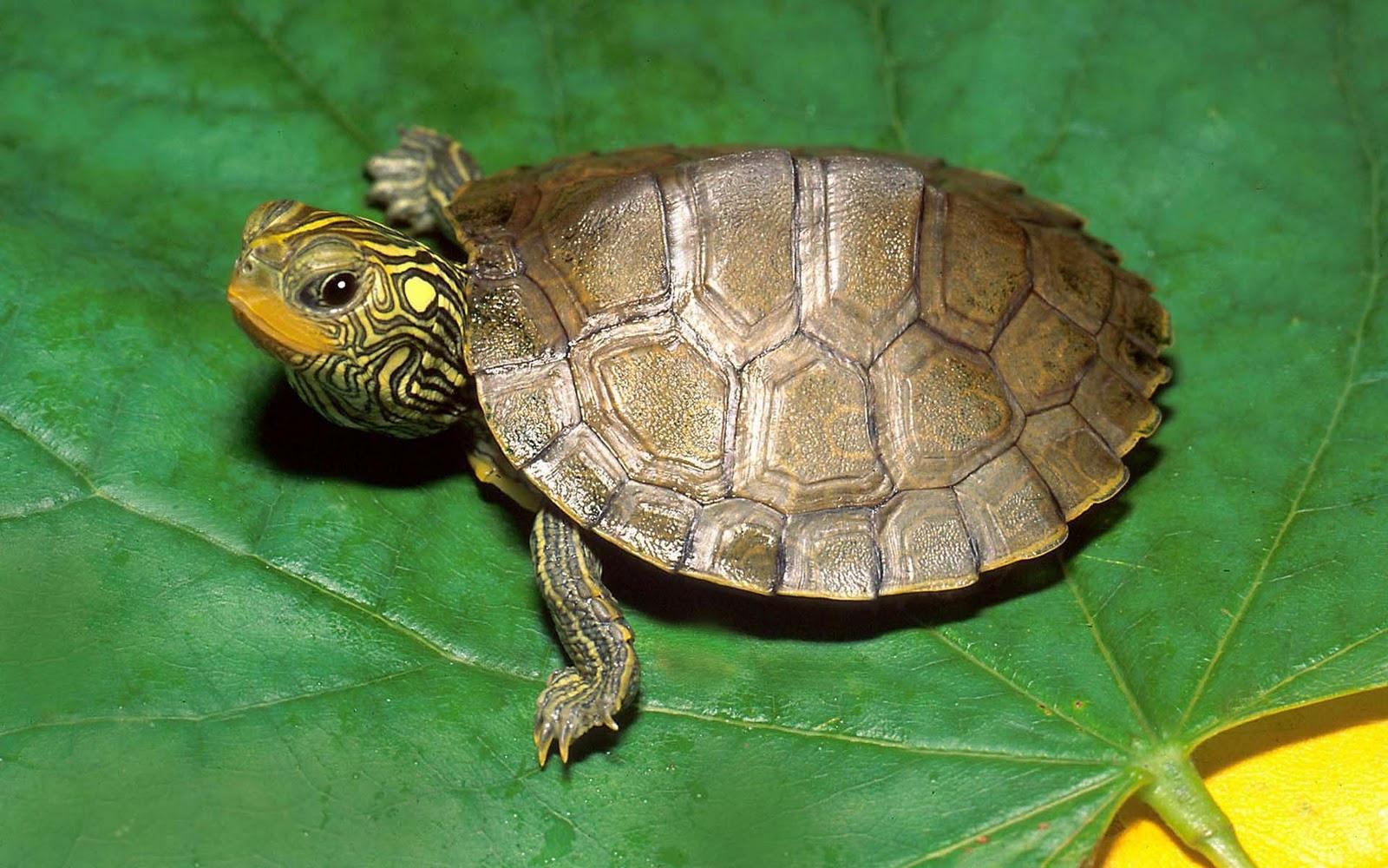 http://1.bp.blogspot.com/--ce8XTvoMrQ/TyAavpFKdcI/AAAAAAAAXwk/-UgrdaHCvNw/s1600/Schildpadden-achtergronden-dieren-hd-schildpad-wallpapers-foto-11.jpg