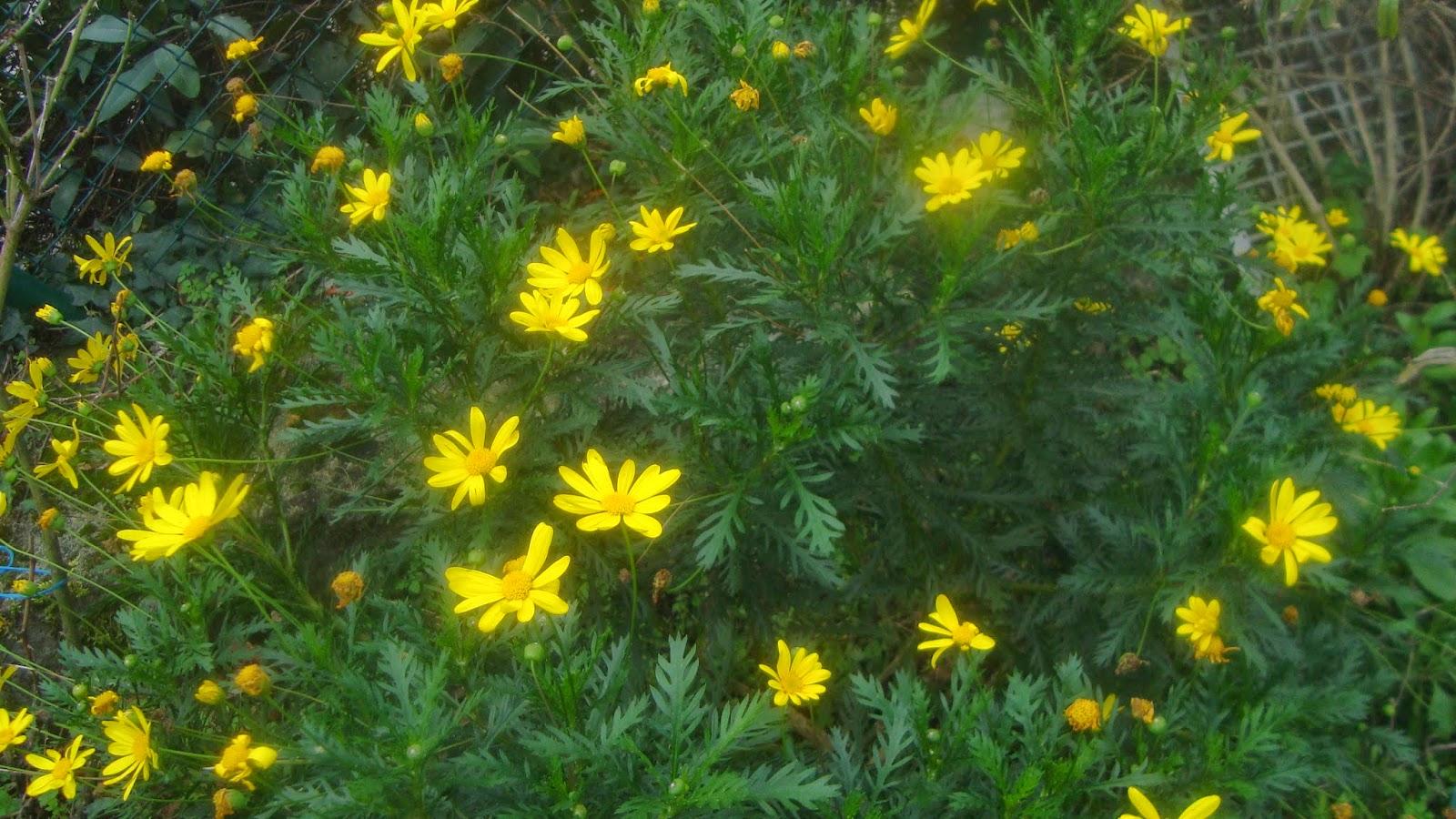 Euryops Pectinatus Margarita Amarilla El Jardin De Elbe