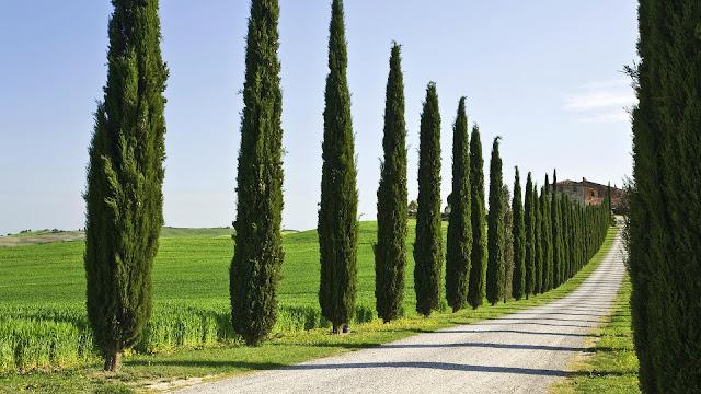 Cypress Trees HD Wallpaper
