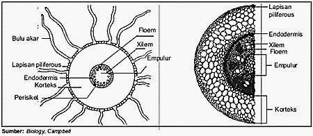 Biologi Topi Biru Anatomi Dan Fisiologi Akar