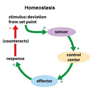 Homeostasis | BioNinja
