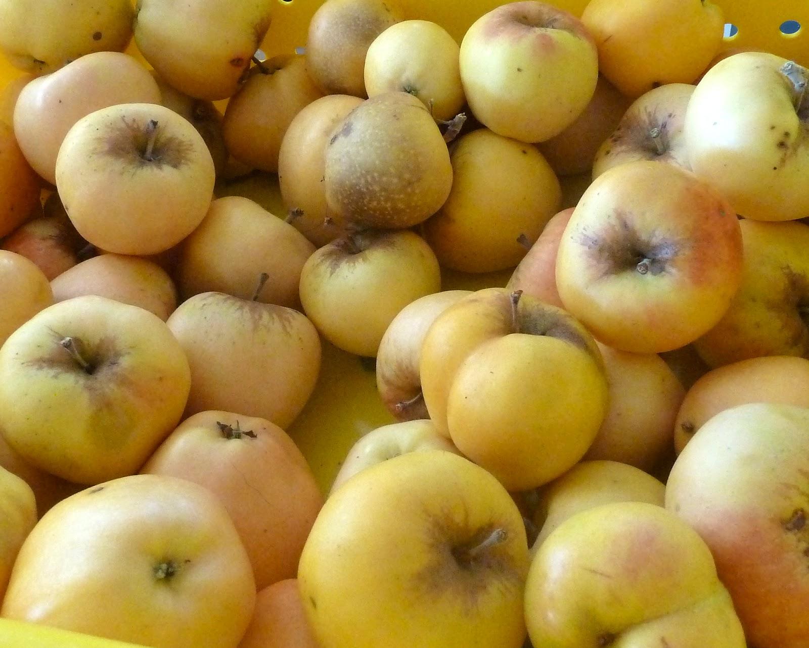Matthiasson Vineyard: The Forbidden Fruit