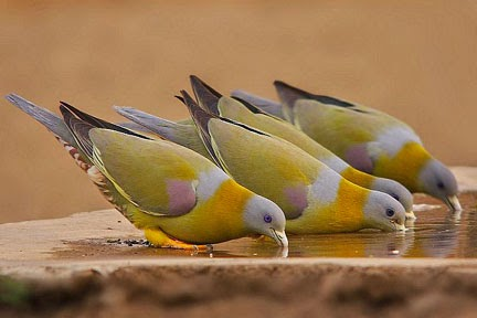 Hariyal birds