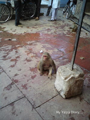 Monkeys at the Yamuna River Ghat, Mathura