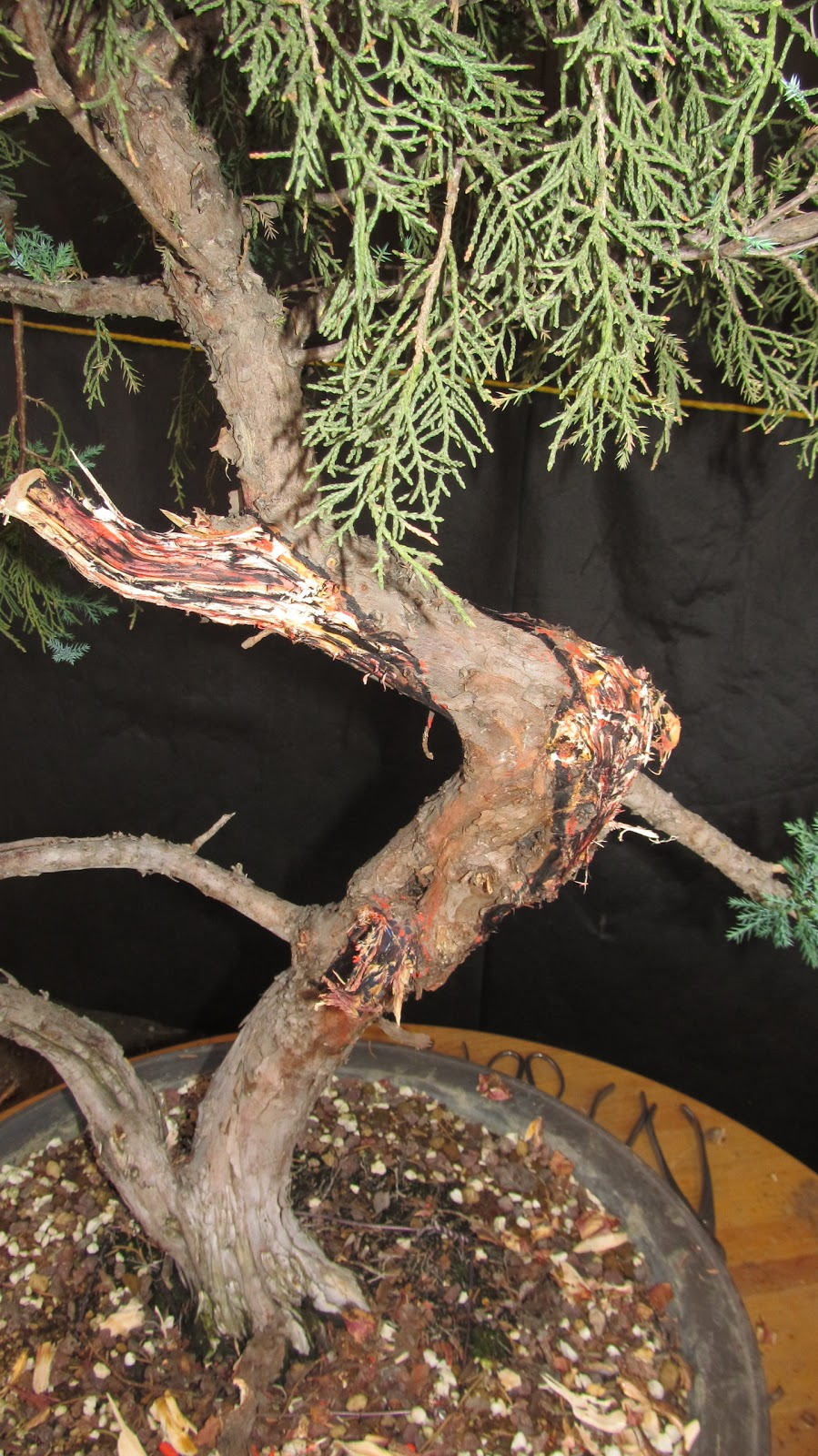 Bonsaibp39s Bonsai Blog Large Juniper Project Part 3