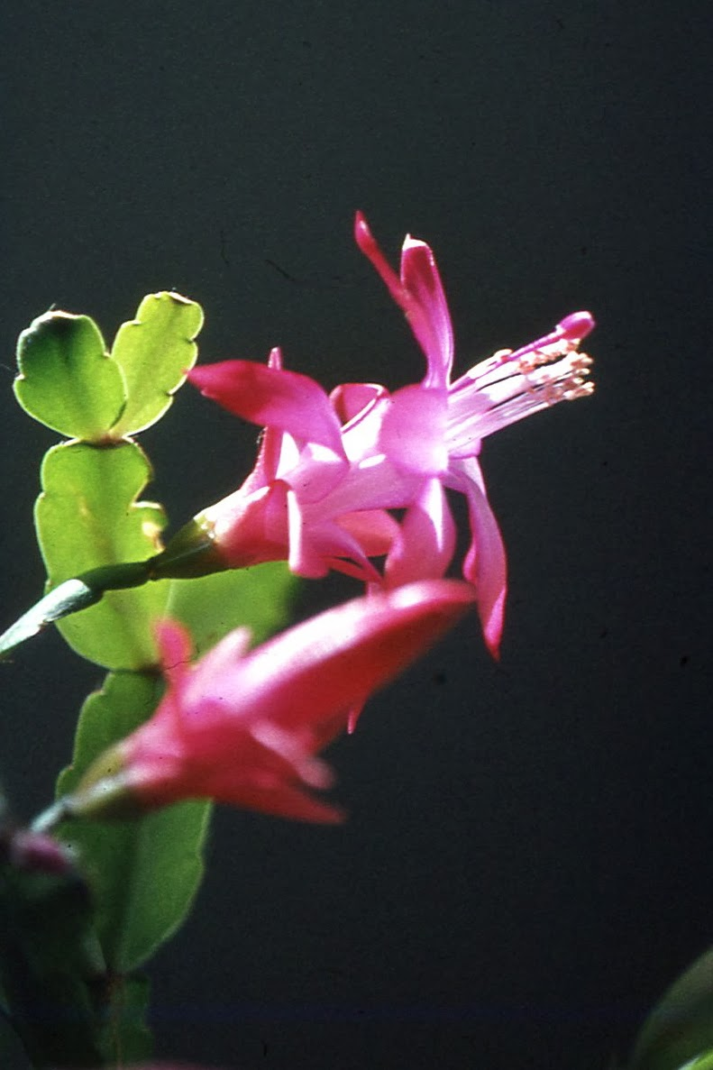 "Flower of Christmas cactus ""Junior"""