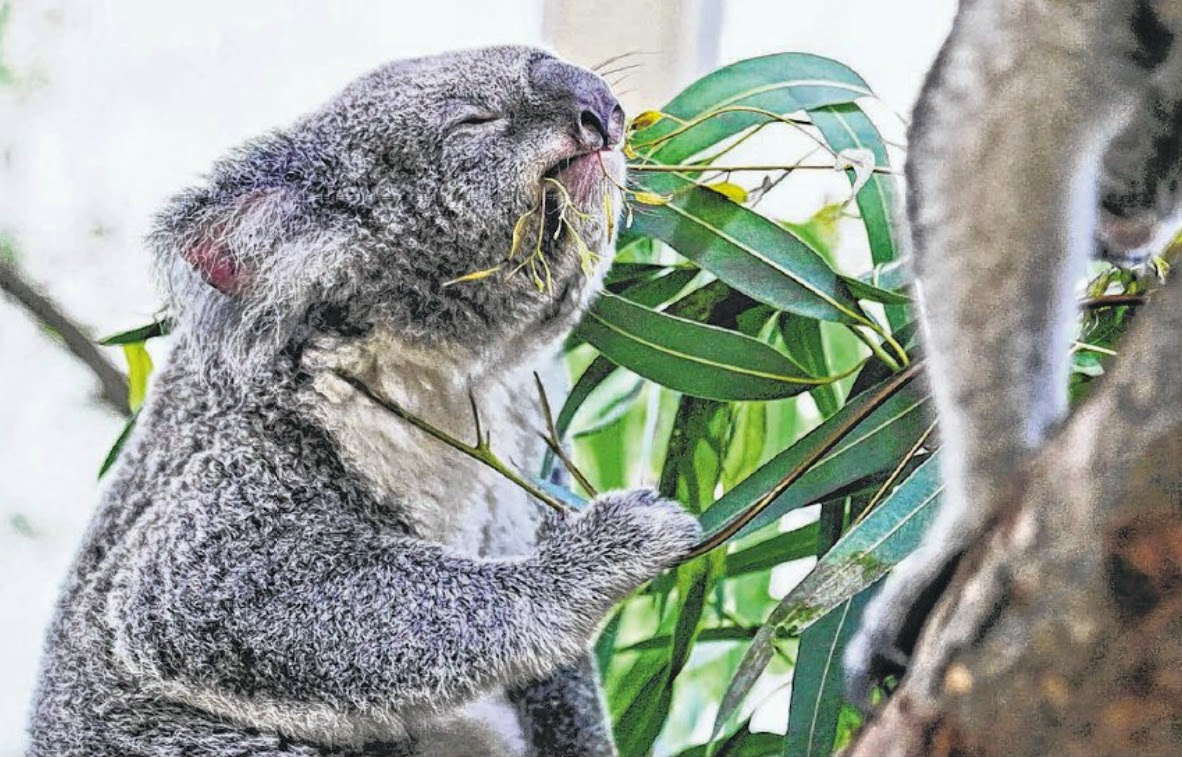 Idalia the koala enjoys a spot of breakfast of eucalyptus leaves