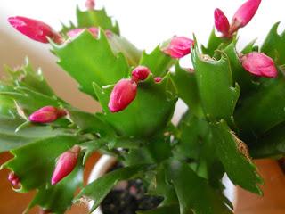 cuidados del cactus de Navidad