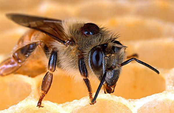 Bee killer diseases