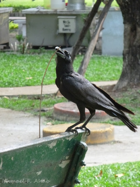 A crow in Lumphini Park playing with stick